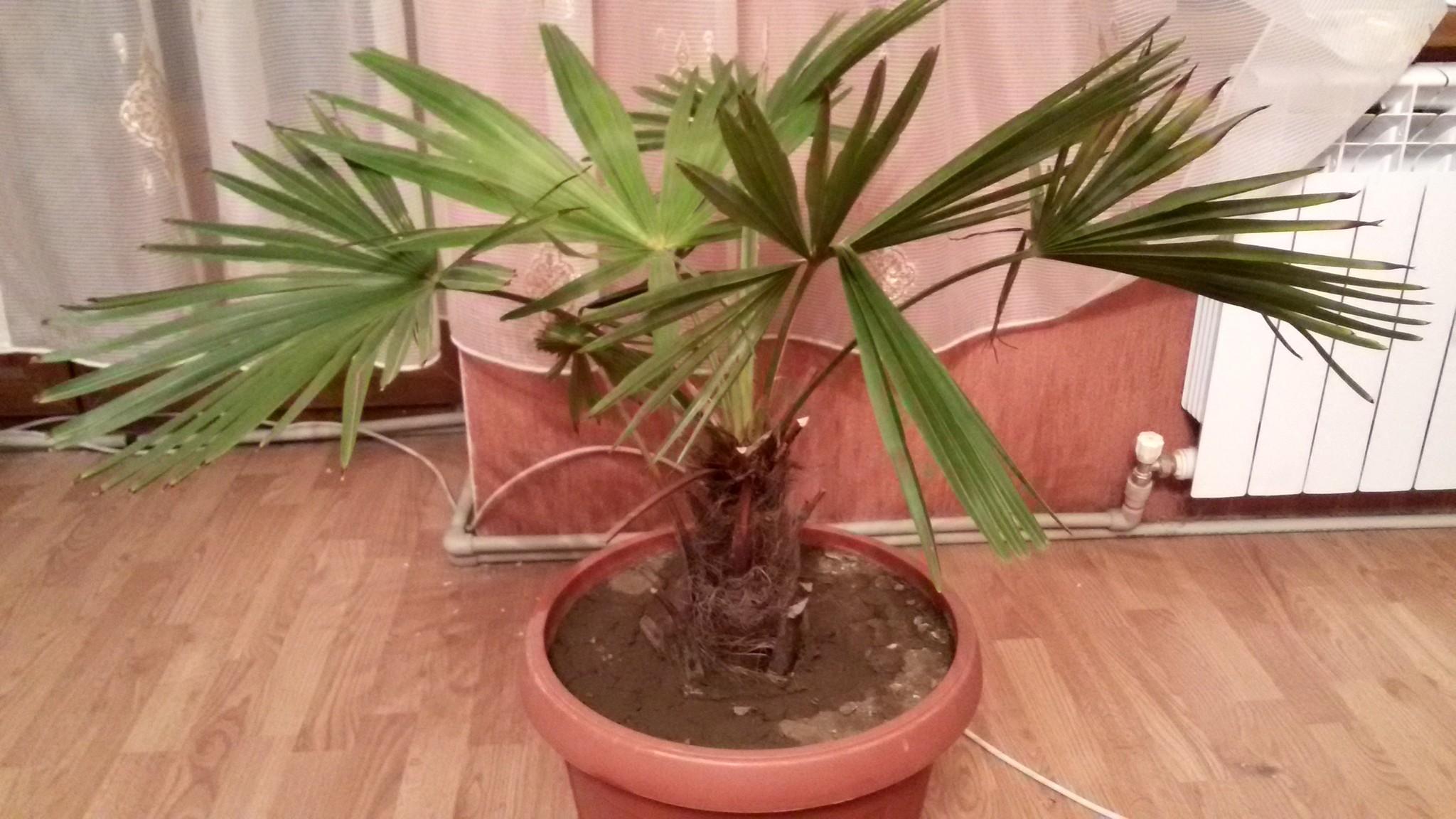 Цветы пальма фото болезни 4