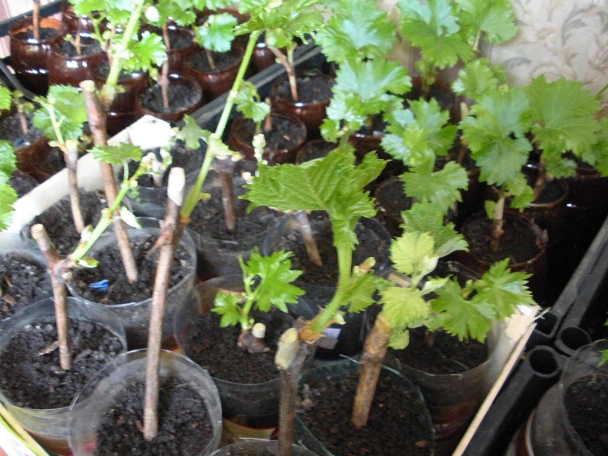 Ответы@mail.ru: можно ли проращивать черенки винограда в дек.