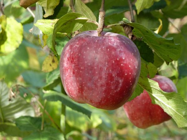 находится сорт яблони клубничное фото максимум это