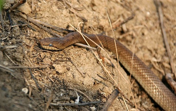 предоставляются местные ядовитые змеи обитающие в краснодарском крае этой странице находится