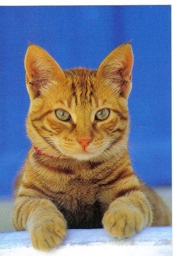 Шалфей для кота