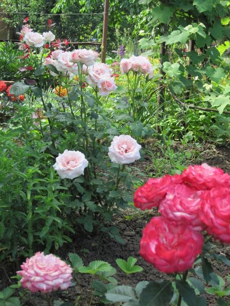 Как пересадить взрослую розу на другое место