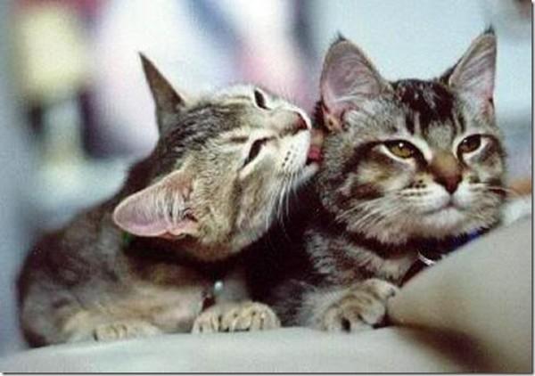 Видео кот лижет кота
