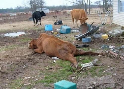 Корова и бык секс