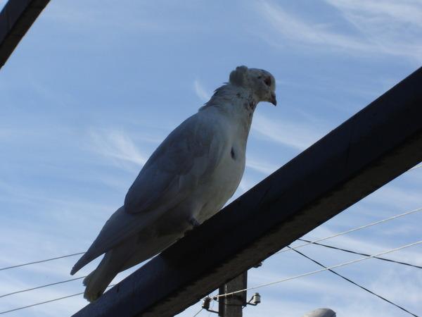 Ответы@mail.ru: сегодня ко мне на балкон, залетела голубка, .