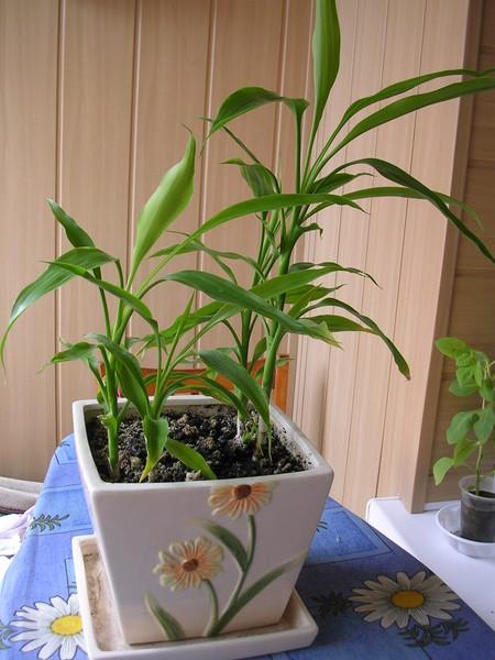 Домашний бамбук в земле