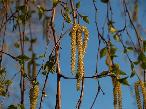 у каких деревьев сережки весной