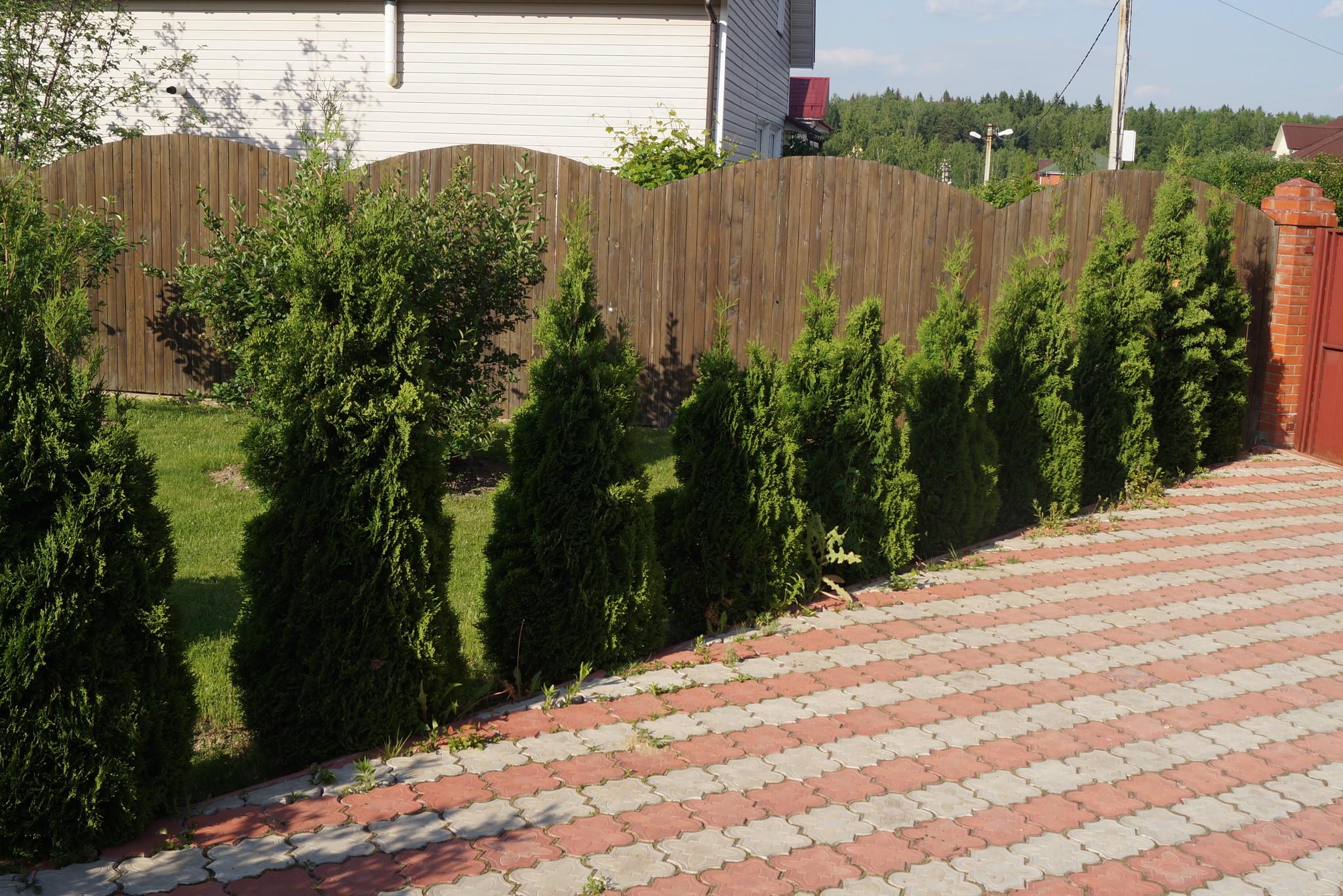 Зеленый забор живая изгородь на даче фото