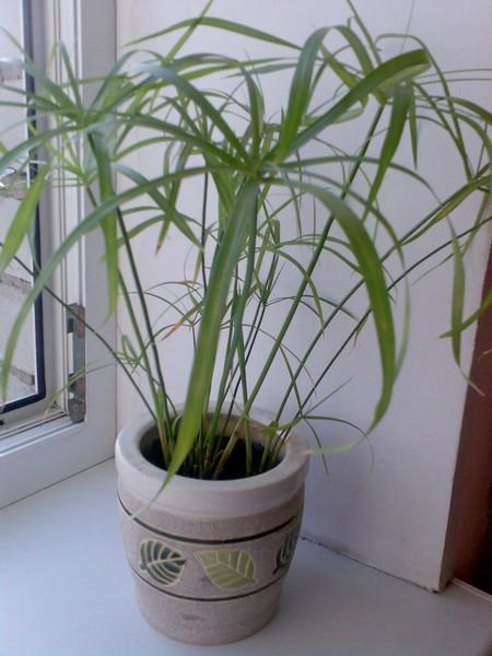 Почему циперус не растет желтеют листья