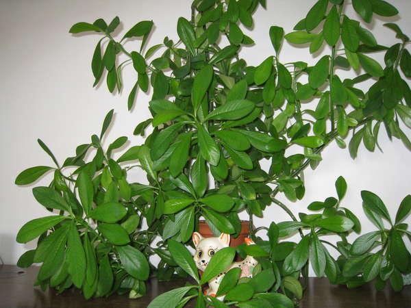 Синадениум - Synadenium - happyflora.ru