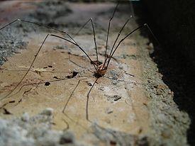 пауки ядовитые россии фото