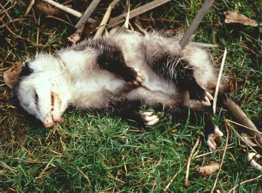 все засыпает при опасности животное симптомы, стадии