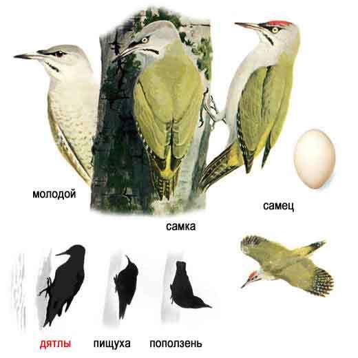 птица средней полосы крупного размера 1707206025