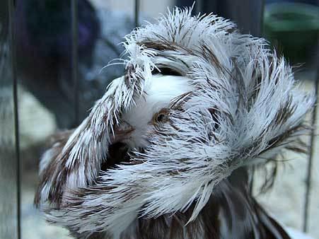 породистые голуби фото цена
