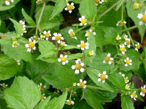 сорняк с белыми цветочками фото и названия отдых собственном