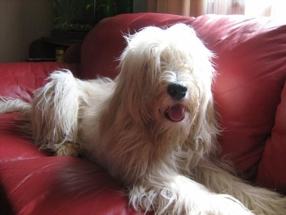 какие породы собак не пахнут псиной