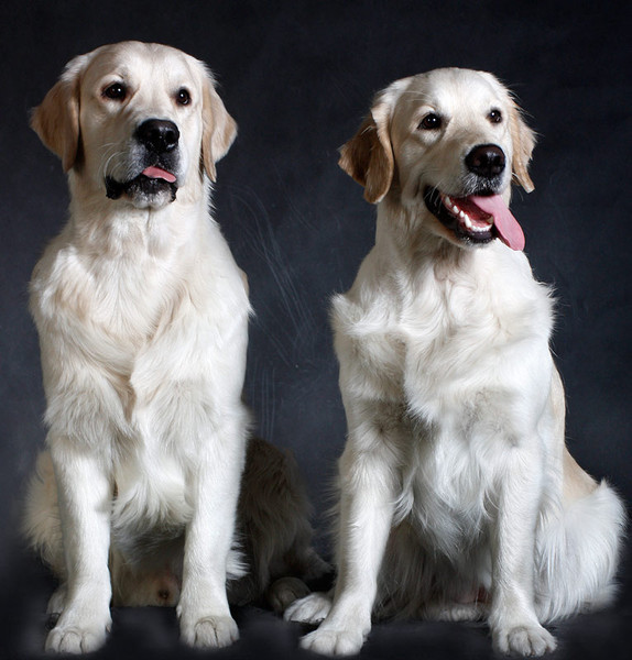собак для охраны дома