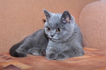 Кот британец худой