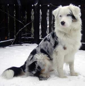 как называется порода черно белой собаки