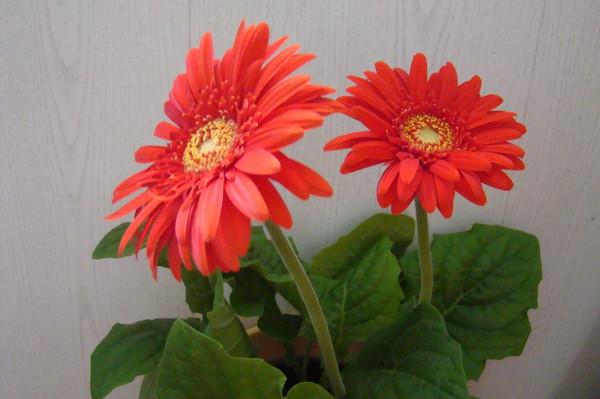 Цветов почему погибают комнатные цветы купленные в магазине цветов ижевск