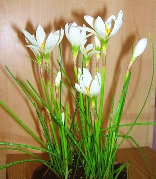 целостное мышление комнатный цветок похожий на подснежник фото кресте