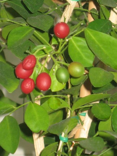 Цветок с красными ягодками название