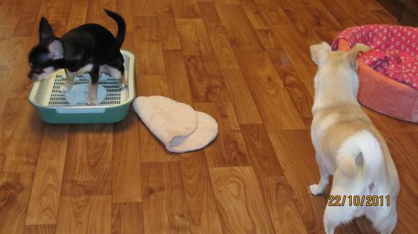 работу как приручить щенка чихуахуа к лотку замена масла, ремонт