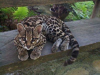 оцелот кошка фото