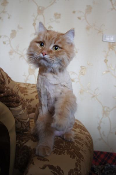 Если побрить кота шерсть