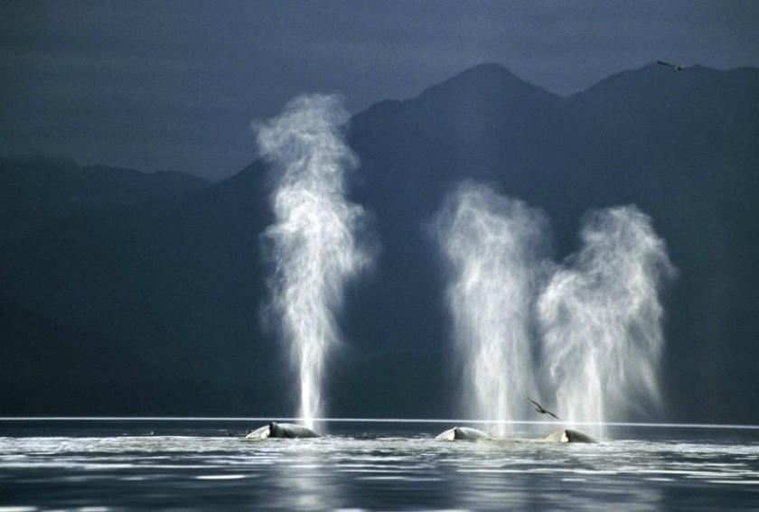 кит пускающий фонтаны картинка осмотического