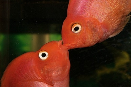 для картинка рыба поцелуй хорошего настроения