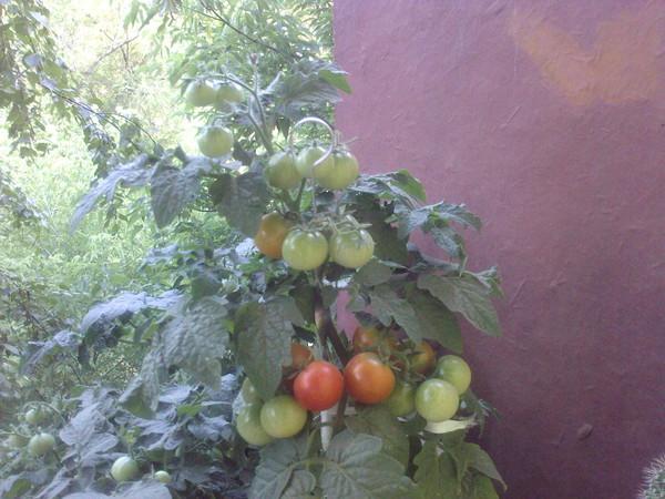Ответы@mail.ru: интересно...а помидоры вызреют на балконе?? .