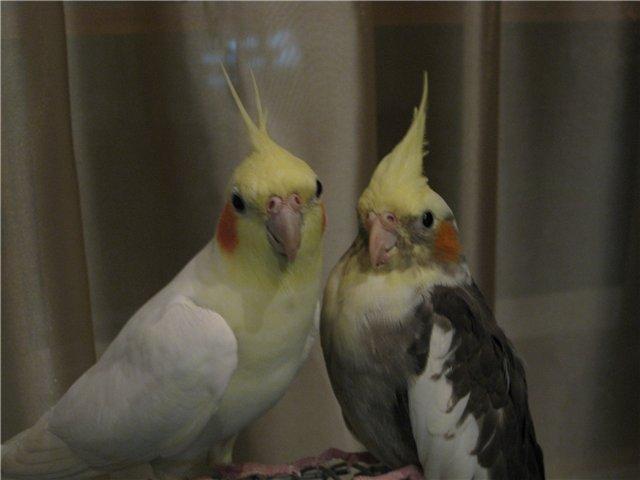 Попугай корелла молодая пара