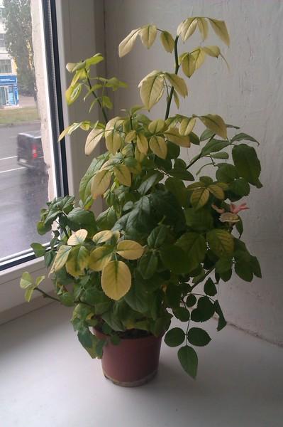 Почему у комнатной розы желтеют листочки