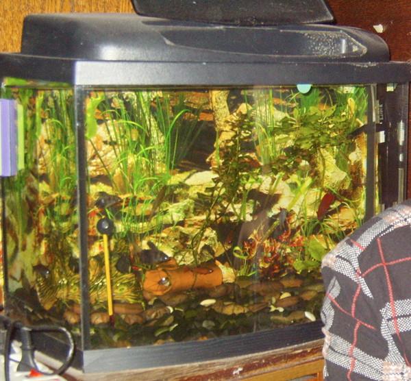 Как часто кормить рыбок в аквариуме гуппи