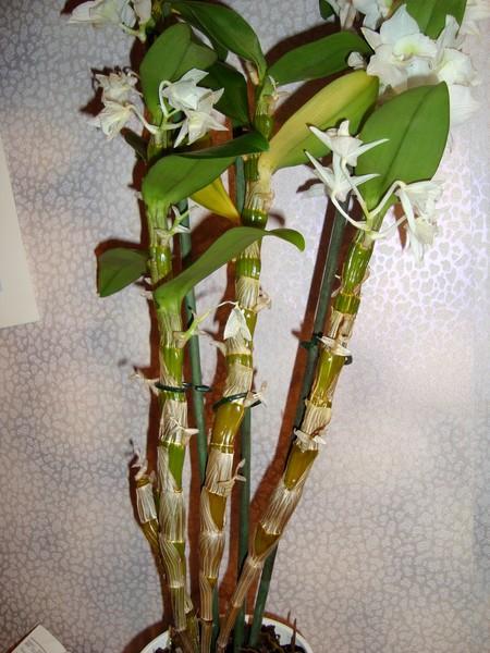 У орхидеи пожелтел стебель и опали цветы