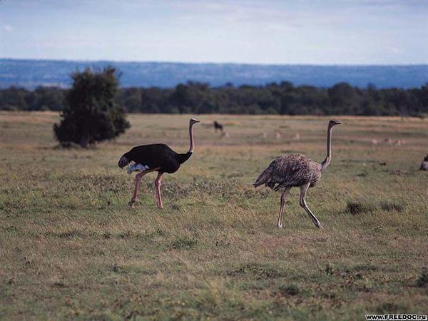 с какой скоростью бегают африканские страусы