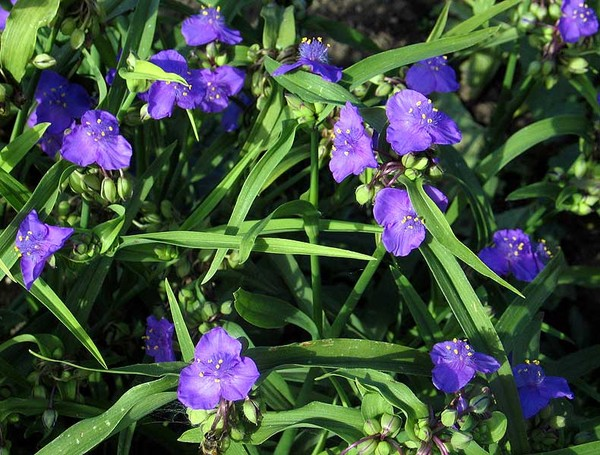 Садовые цветы фиолетового цветы