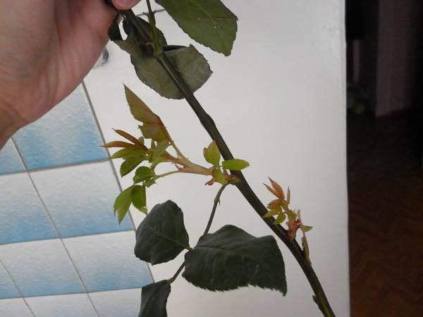 Выгодной, роза в букете дала ростки как посадить