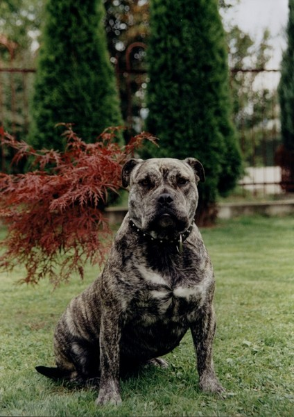 собака похожая на стаффорда