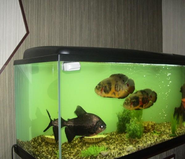 Сколько корма давать рыбкам в аквариуме