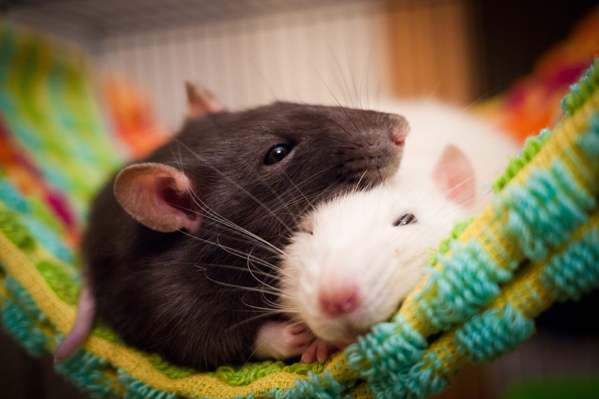 К чему снится крыса, которая сильно кусает