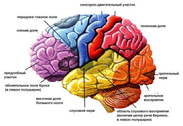 my essay on the human brain
