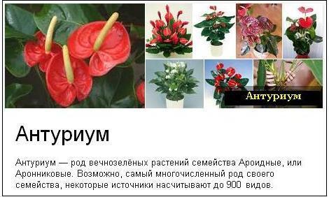 Спатифиллум красный