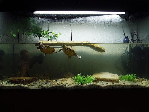 Красноухая черепаха пытается вылезти из аквариума