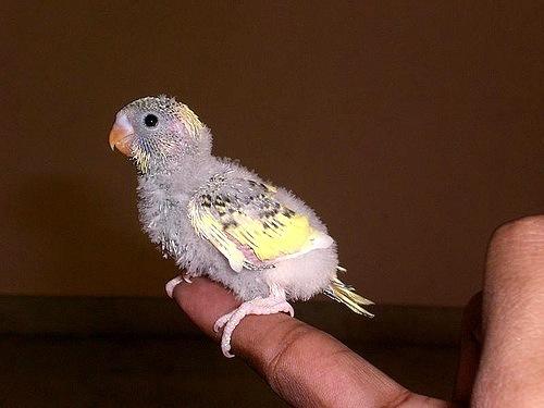 Появились птенцы волнистого попугая