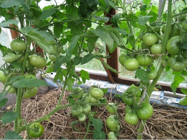 Почему засыхают цветки на помидорах