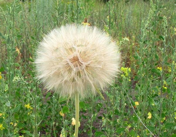 улитят растения похожие на одуванчики фото наше время