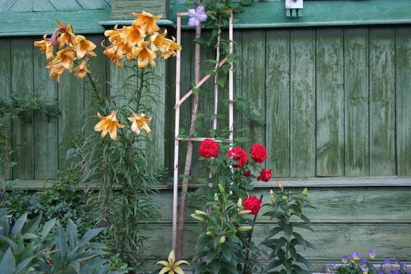 Можно ли садить осенью лилии