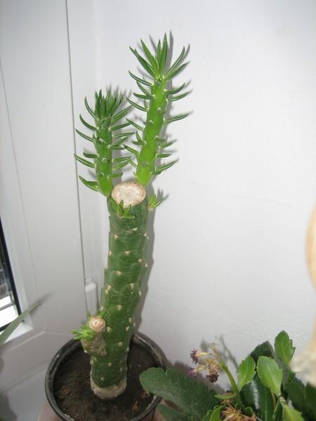 как длинный кактус название фото поворот